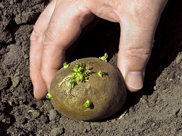 Өнүп кеткен картошка