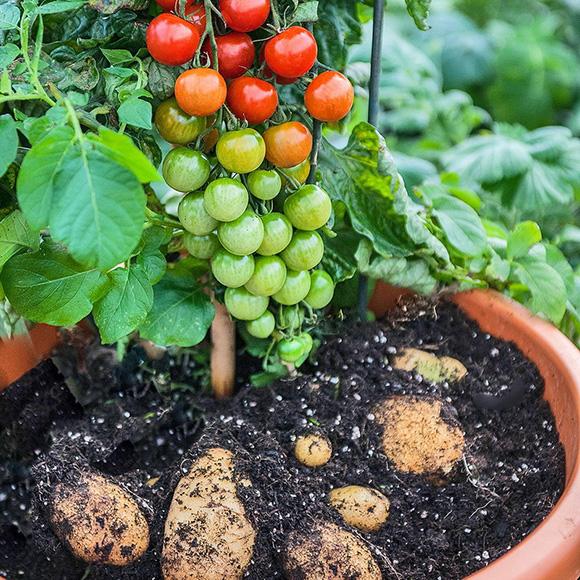 картошка жана помидордун гибриди
